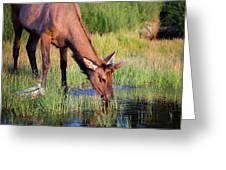 Yearling Elk Greeting Card