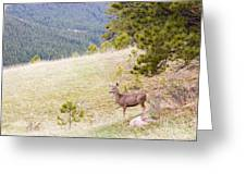 Yearling Mule Deer In The Pike National Forest Greeting Card