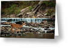 Yearling On Indian Creek Greeting Card