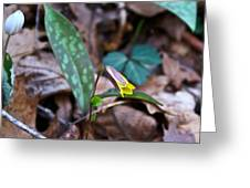 Yelllow Trout Lily 1 Greeting Card