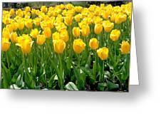 Yelllow Tulip Garden Greeting Card