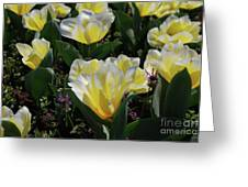 Yellow And White Tulips Flowering In A Garden Greeting Card