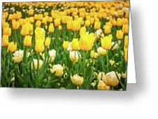 Yellow And White Tulips In Canberra In Spring Greeting Card