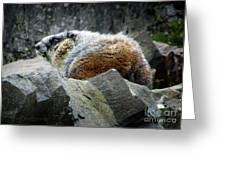 Yellow Bellied Marmot - Glacier National Park Greeting Card