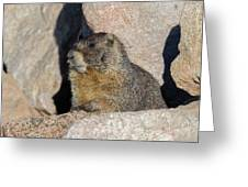 Yellow-bellied Marmot Poses For Pictures Greeting Card