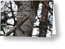 Yellow-bellied Sapsucker Greeting Card