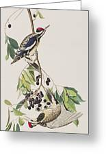 Yellow Bellied Woodpecker Greeting Card