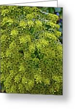 Yellow Blossoms Of Green Aeonium In Huntington Desert Garden In San Marino-california  Greeting Card
