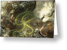 Yellow Brittle Star Under The Dock Greeting Card