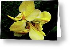 Yellow Canna  Greeting Card