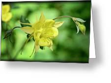 Yellow Columbine  Greeting Card
