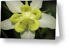 Yellow Columbine Squared 2 Greeting Card
