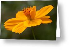 Yellow Cosmos Greeting Card