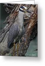Yellow Crested Night Heron On Log Greeting Card