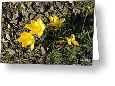 Yellow Crocus Greeting Card