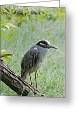Yellow-crowned Night Heron 1 Greeting Card