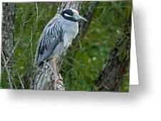Yellow-crowned Night Heron 4 Greeting Card