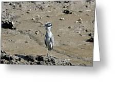 Yellow-crowned Night-heron Greeting Card