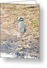 Yellow Crowned Night Heron Along The Tidal Creek Greeting Card