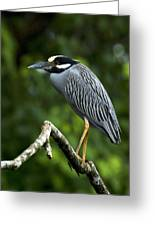 Yellow-crowned Night Heron Greeting Card by JP Lawrence
