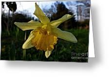 Yellow Daffodils 5 Greeting Card