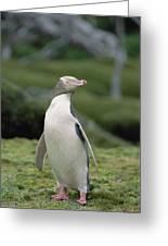 Yellow-eyed Penguin Albino Greeting Card