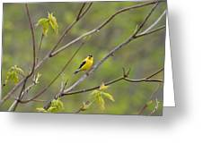 Yellow Finch In Spring Greeting Card