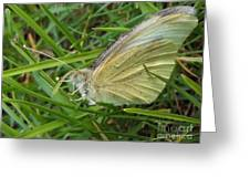 Yellow Fringed Sulphur Butterfly In Grass Blades  Image No 1  Indiana Greeting Card