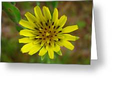 Yellow Goatsbeard Greeting Card