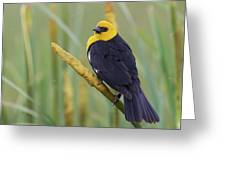 Yellow-headed Blackbird Greeting Card