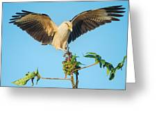 Yellow-headed Caracara Milvago Greeting Card