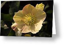 Yellow Helleborus Greeting Card