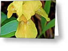 Yellow Iris At Pilgrim Place In Claremont-california Greeting Card