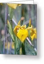 Yellow Iris Wild Flower Greeting Card