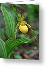 Yellow Lady Slipper Greeting Card