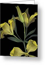Yellow Lily On Black Greeting Card