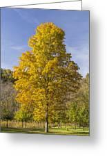 Yellow Maple Tree 1 Greeting Card
