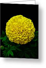 Yellow Marigold Flower On Black Background Greeting Card
