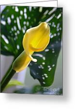 Yellow Mini Calla Lilies Greeting Card
