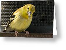 Lesser Female Goldfinch Having Lunch Greeting Card