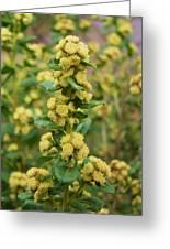 Yellow Pom Poms Greeting Card
