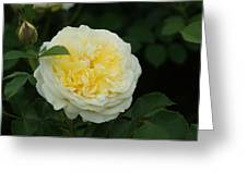 Yellow Rose Of Texas Too...   # Greeting Card