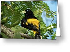 Yellow Rumped Cacique Greeting Card
