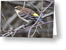 Yellow-rumped Warber In Fall Colors Greeting Card