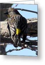 Yellow Rumped Warbler Greeting Card