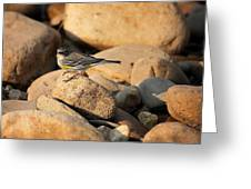Yellow Rumped Warbler On River Rocks Greeting Card