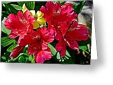 Yellow Sorrel Peeking Out Through Red Azaleas At Pilgrim Place In Claremont-california  Greeting Card