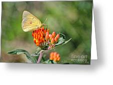 Yellow Sulphur Butterfly Greeting Card