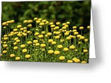 Yellow Tansy Greeting Card
