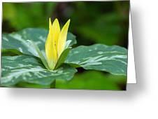 Yellow Trillium Flower Trillium Luteum Greeting Card